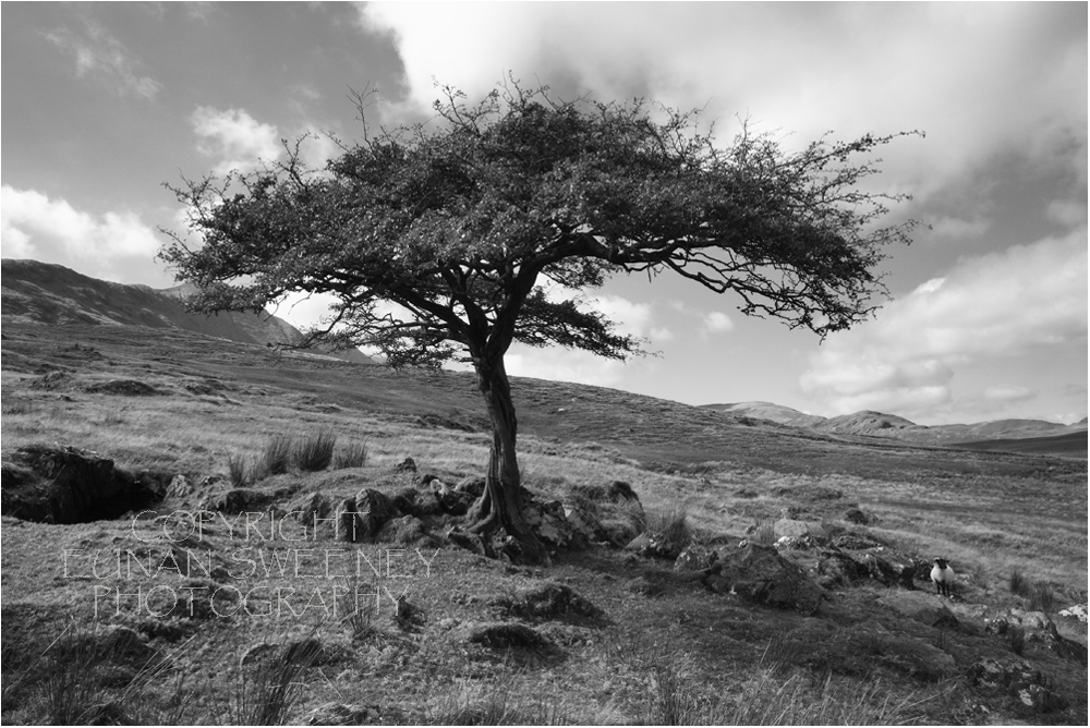 Lonesome  Tree.  Connemara.  Co. Galway